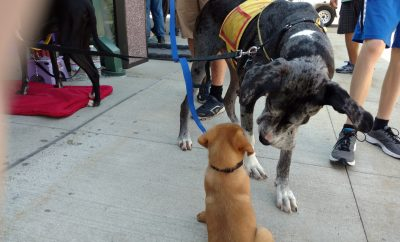 Puppy meets Dane
